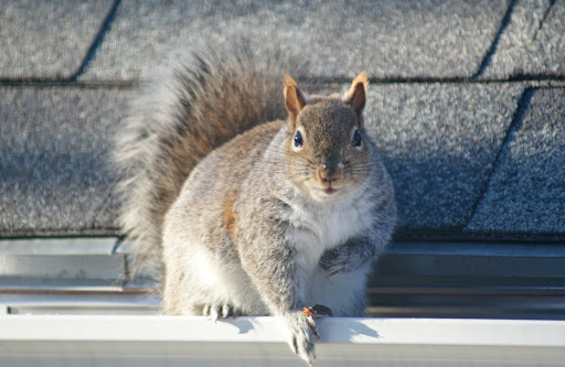 ... device (one way door) allowing the animals to leave but not return. For fast humane squirrel removal in Auburn look no further than the local experts ... & Auburn Squirrel Removal Conserv Wildlife Services | Squirrel Removal ...