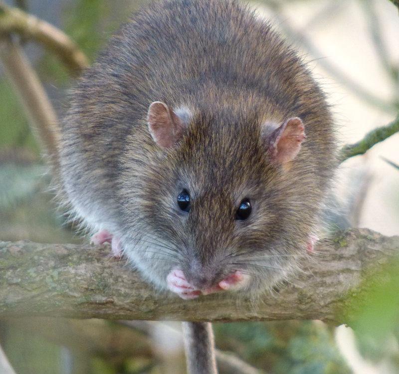 copy57_rat
