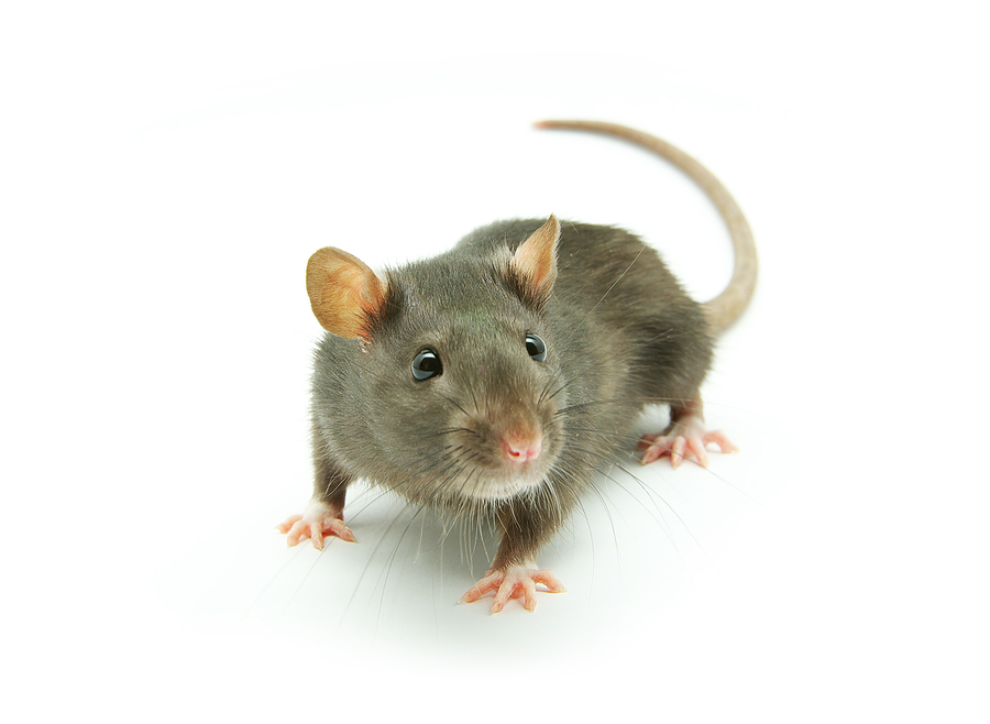 Conserv Rat Removal Conserv Wildlife Services Alabama